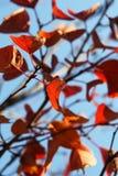 Hojas del rojo sobre el cielo Imagen de archivo