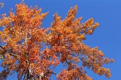 Hojas del rojo y cielo azul Fotos de archivo