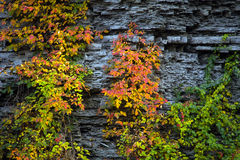 Hojas del rojo y del amarillo en la pared de la roca Foto de archivo