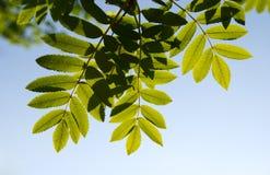 Hojas del serbal-árbol Imagen de archivo