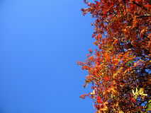 Hojas del serbal del otoño Imagen de archivo