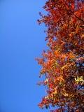 Hojas del serbal del otoño Fotos de archivo