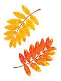 Hojas del serbal Ilustración del vector Foto de archivo