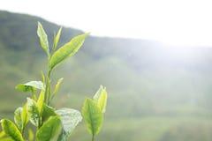 Hojas del té Imagen de archivo libre de regalías