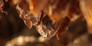 Hojas del tabaco Fotografía de archivo libre de regalías