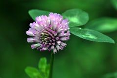 Hojas del tallo de flor y del trébol rojo Foto de archivo libre de regalías
