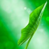 Hojas del taro en el bokeh verde Fotos de archivo