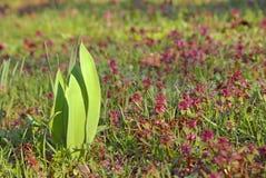 Hojas del tulipán en jardín imágenes de archivo libres de regalías