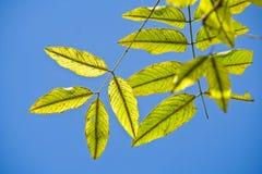 Hojas del verde. Fotografía de archivo libre de regalías