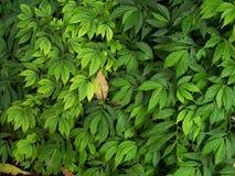Hojas del verde Imagen de archivo