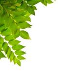 Hojas del verde aisladas en blanco Imagen de archivo libre de regalías