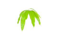 Hojas del verde aisladas en el fondo blanco Foto de archivo libre de regalías