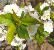 Hojas del verde alrededor de las cuales están las flores blancas Una abeja se sienta en una flor Foto de archivo