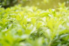 Hojas del verde del arbusto bajo luz del sol de la mañana en verano GR fotos de archivo