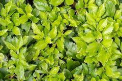 Hojas del verde del arbusto bajo luz del sol de la mañana en verano GR imagenes de archivo