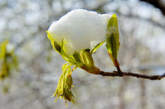 Hojas del verde bajo la nieve Foto de archivo