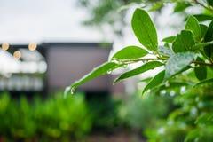 Hojas del verde con descensos del agua después de la lluvia Fotografía de archivo