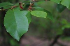 Hojas del verde con el fondo borroso Foto de archivo libre de regalías