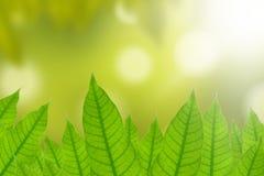 Hojas del verde con el fondo natural Fotografía de archivo libre de regalías