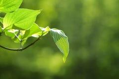 Hojas del verde con el fondo verde Fotografía de archivo