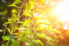 Hojas del verde con el rayo del sol plántula en los rayos de la puesta del sol Imagen de archivo libre de regalías