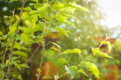Hojas del verde con el rayo del sol plántula en los rayos de la puesta del sol en foco selectivo Imagen de archivo libre de regalías