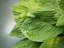 Hojas del verde con gotas Imagen de archivo