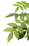 Hojas del verde con gotas de rocío Imagen de archivo