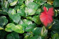 Hojas del verde con la hoja en forma de corazón roja Foto de archivo libre de regalías