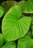Hojas del verde con las gotitas de la lluvia Imágenes de archivo libres de regalías