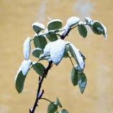 Hojas del verde con nieve Fotografía de archivo