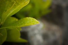 Hojas del verde con rocío en ellos foto de archivo