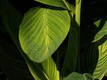 Hojas del verde con Venation amarillo Foto de archivo libre de regalías