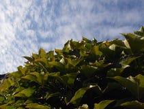 Hojas del verde contra el cielo Imagen de archivo libre de regalías