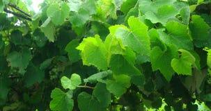 Hojas del verde cubiertas con las gotas de agua almacen de video