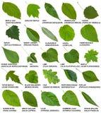 Hojas del verde de árboles y arbustos con nombres Foto de archivo libre de regalías