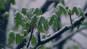 Hojas del verde de castañas en la nieve almacen de video