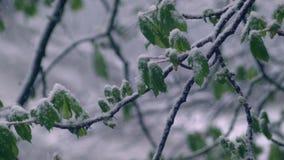 Hojas del verde de castañas en la nieve almacen de metraje de vídeo
