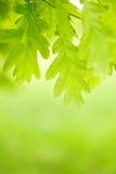 Hojas del verde de la castaña Foto de archivo