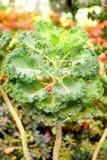 Hojas del verde de la col rizada - col de la hoja - brassica oleracea Imagen de archivo