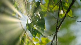 Hojas del verde de la ejecución del abedul del árbol en Forest On Sunny Day Fotografía de archivo