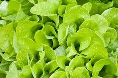Hojas del verde de la ensalada con gotas mojadas Imagen de archivo