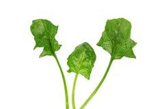 Hojas del verde de la espinaca Imagen de archivo