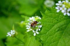 Hojas del verde de la flor blanca de la abeja Imagen de archivo libre de regalías