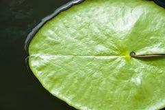 Hojas del verde de la flor de loto Imagen de archivo libre de regalías