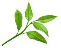 Hojas del verde de la fruta cítrica aisladas en un fondo blanco Foto de archivo