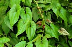Hojas del verde de la mayor planta de ñame imagen de archivo