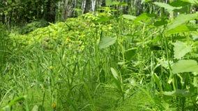 Hojas del verde de la ortiga en parque de la ciudad Hierba e hierbas en campo Flora en primavera Lanzamiento en el resbalador almacen de metraje de vídeo