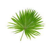 Hojas del verde de la palmera fotografía de archivo libre de regalías