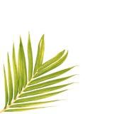 Hojas del verde de la palmera foto de archivo